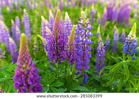 Lupin Flower, Garden Lupin, , pink, garden, wild, purple, bloom, colorful, nature, field, lupin, summer, background, spring, blooming, wildflowers, green - stock photo