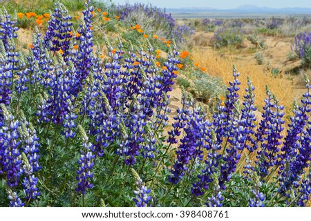 Lupine and Poppy wildflowers growing in the high desert of Antelope Valley, California. - stock photo