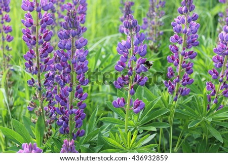 lupine field with pink purple and blue flowers - stock photo