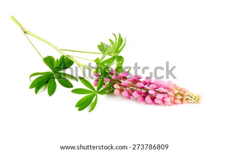 lupine flower isolated on white - stock photo