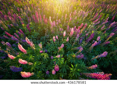 Lupine Flowers background.  Field of Lupines flowers in sunset lights - stock photo
