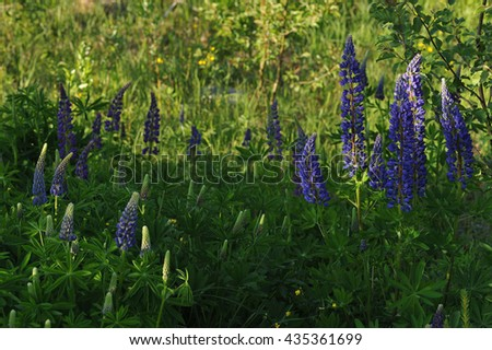 Lupine flowers in lights of evening sun.