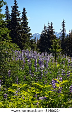 Lupine Flowers in the wilderness and Forests of Alaska
