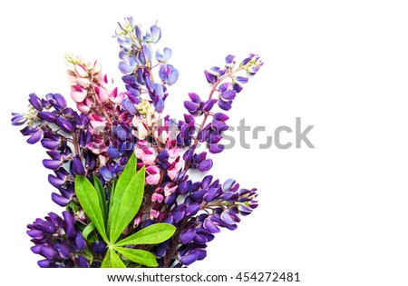 Lupine flowers isolated on a white background