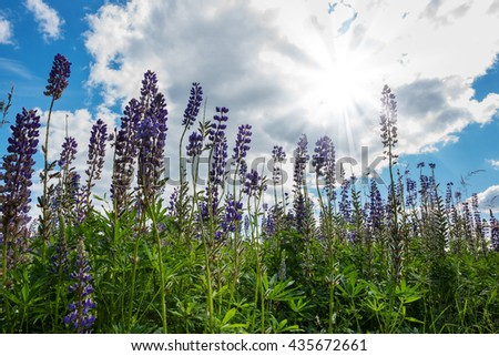Lupine flowers on the meadow grow up to blue sky with sun and clouds, nature background - stock photo