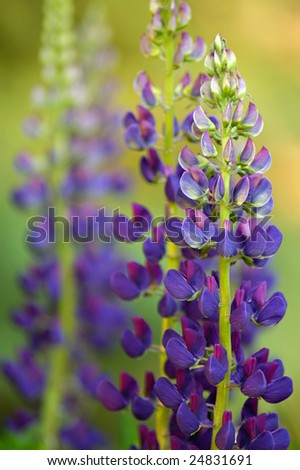 lupine flowers with blurred background - stock photo