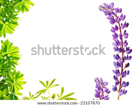 lupine isolated on white - stock photo