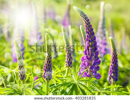 Lupine wildflowers on meadow in sunlight in spring time - stock photo