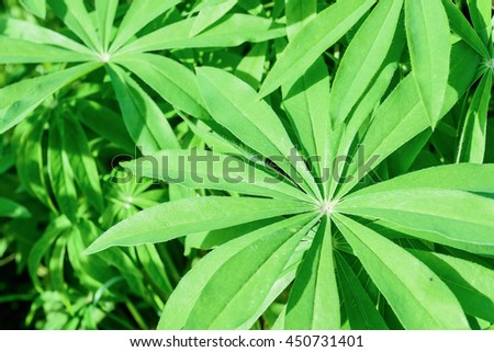 Lupine young green flower leaves background