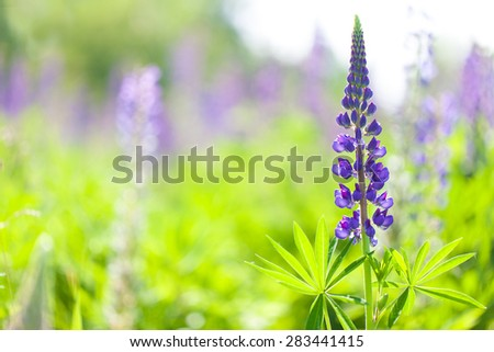 Lupines blooming - stock photo