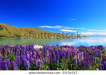 lupines by the lake Tekapo, New Zealand - stock photo