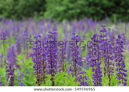 Lupins (Lupine), are a plant genus in the subfamily of the flowering plants (Faboideae)