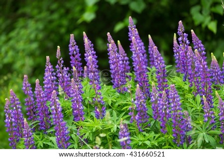 Lupinus flowers blooming on meadow near forest at summer in Poland - stock photo