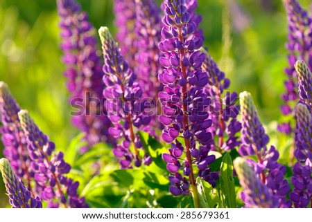 Lupinus, lupin,  lupine field with pink purple and blue flowers - stock photo