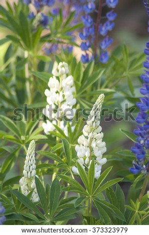 Lupinus, lupin, lupine field with white and blue flowers - stock photo