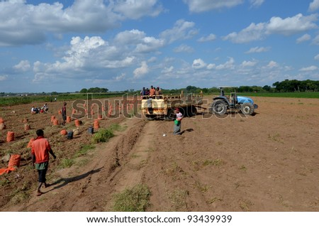 LUSAKA,ZAMBIA – DECEMBER 3: a group of farmers gathered potatoes and load the truck for export to Zambia and Malawi, 300 farmers working in this field, on December 3,2011 in Lusaka,Zambia - stock photo