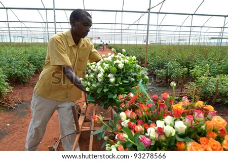 LUSAKA,ZAMBIA - DECEMBER 2: African men in the greenhouses select  roses for export to Europe, which provide employment to 800 farmers, on December 2,in Lusaka, Zambia - stock photo