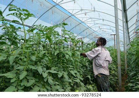 LUSAKA,ZAMBIA - DECEMBER 2: farmer takes care of tomato plants in greenhouses, which provide employment to 800 farmers, on December 2,2011 in Lusaka, Zambia
