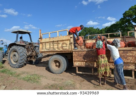 LUSAKA,ZAMBIA – DECEMBER 3: group of farmers gathered potatoes and load the truck for export to Zambia and Malawi, 300 farmers working in this field, on December 3,2011 in Lusaka,Zambia - stock photo