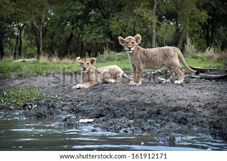 LUSAKA, ZAMBIA - DECEMBER 16, 2012 - Two lions cubs at the shores of a lake in the Zambian capital, Lusaka. - stock photo