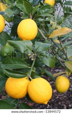 Luscious Bright Yellow New Zealand Meyer Lemons - stock photo
