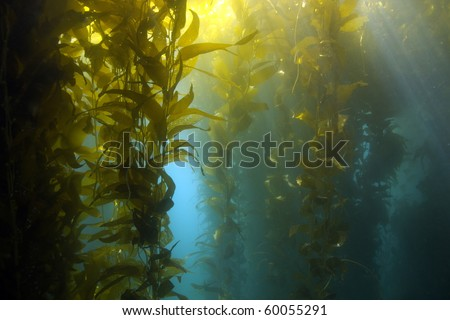 luscious green kelp forest underwater at casino point, catalina island, california, usa. vibrant exotic ocean reef - stock photo