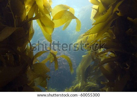 luscious green kelp forest underwater at casino point, catalina island, california, usa. vibrant exotic ocean reef setting - stock photo