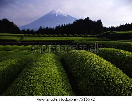Luscious green tea fields at the foot of Mt. Fuji - stock photo