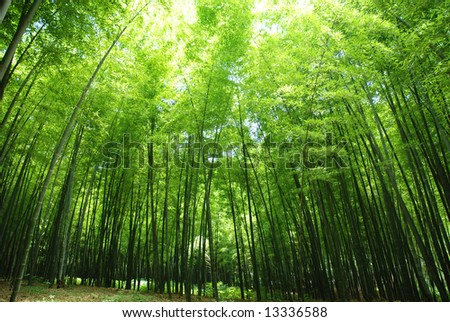 lush bamboo forest - stock photo