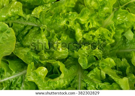 Lush bunch of fresh green lettuce leaves close-up - stock photo