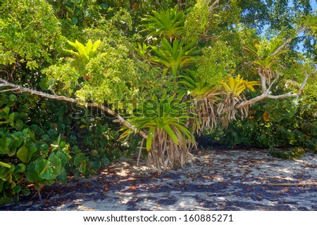 Lush epiphytes Bromeliads over tree in a Caribbean beach, Costa Rica - stock photo