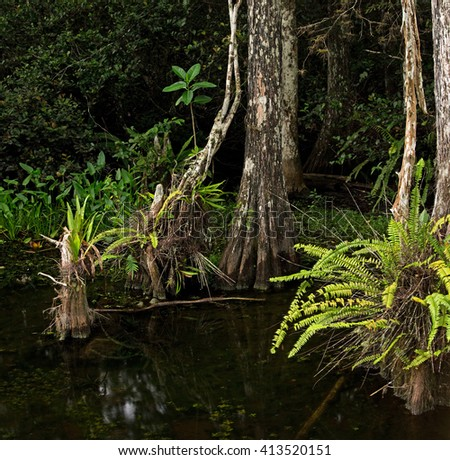 Lush ferns adorn the bases of beautiful Bald Cypress trees in the Florida Everglades - stock photo