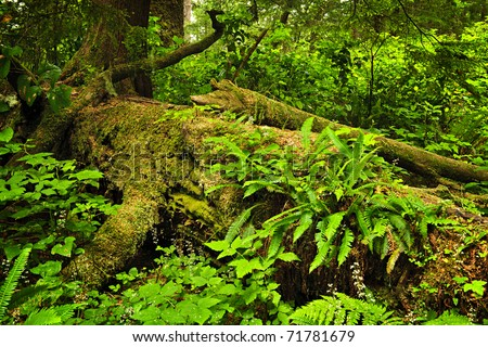 Lush foliage on fallen tree in temperate rain forest. Pacific Rim National Park, British Columbia Canada - stock photo