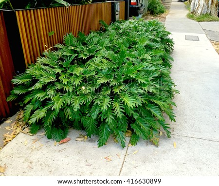 Lush Footpath Shrub Planting Philodendron xanadu - stock photo