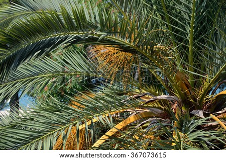 Lush green and golden palm tree foliage and fruits - stock photo