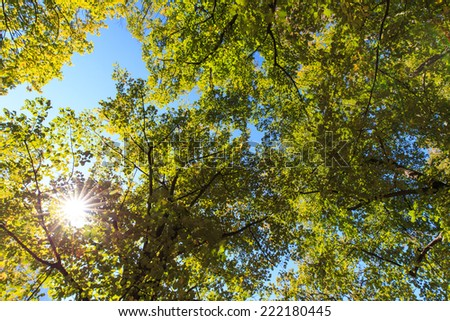 Lush green and yellow foliage, birch trees and clear sky in the forest in autumn - stock photo