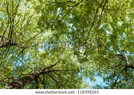 Lush Green Birch Tree Forest in Spring, low angle shot - stock photo
