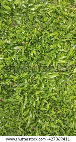 lush green buffalo grass as a lawn - stock photo