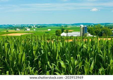 Lush green cornfield with a farmland backdrop - stock photo