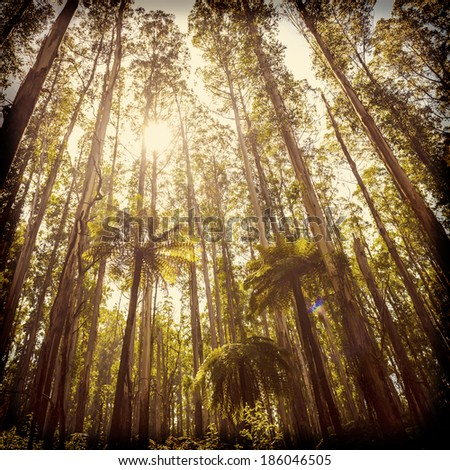 Lush green ferns, tree ferns and towering mountain ash along the Black Spur, Victoria, Australia filtered - stock photo