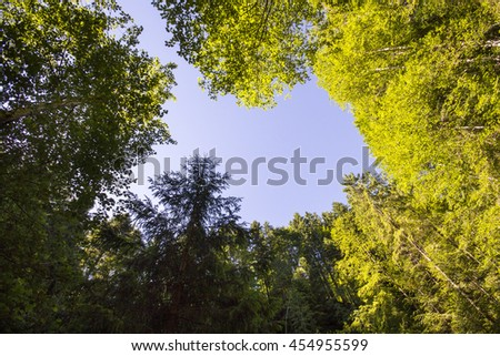 Lush green foliage, birch trees and clear sky in the forest - stock photo