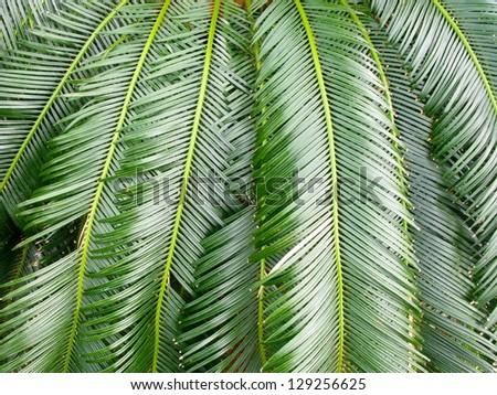Lush green leaves of cycas revoluta (king sago, sago cycad, Japanese sago palm) - stock photo