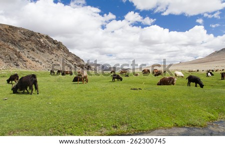 Lush green Mongolian landscape with stream flowing through whilst livestock graze on the fresh green grass - stock photo