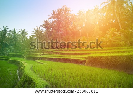 Lush green paddy fields of Bali in the early morning  - stock photo
