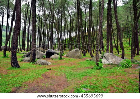 Lush Green Pine Forest, perfect natural background