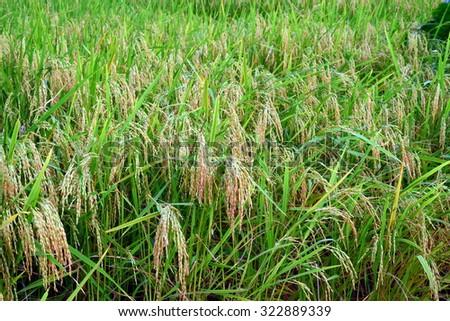 Lush green Rice Paddy Farm in full bloom - stock photo