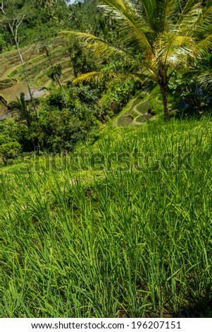 Lush green terraced farmland in Bali on a steep hillside with rice paddies and palm trees in a beautiful scenic landscape - stock photo