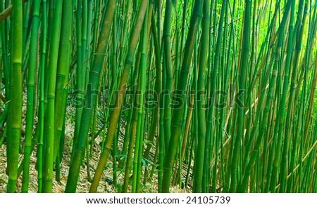 Lush Green Tropical Asian Zen Bamboo Forest - stock photo