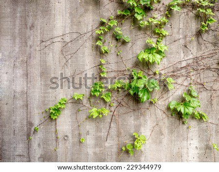 Lush green vines growing on side of weathered old concrete wall - stock photo