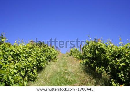 Lush, green vineyard on hill in summer - stock photo